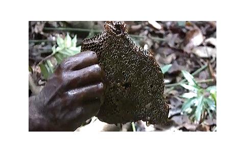 Baka-Dictionary-Honey-Harvesting